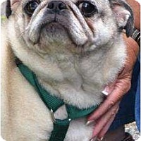 Adopt A Pet :: Samantha the Pug - PENDING! - kennebunkport, ME