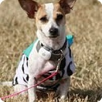 Adopt A Pet :: Hattie - Perfect Apartment Siz - Ocala, FL