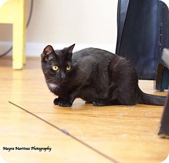 Domestic Shorthair Cat for adoption in Knoxville, Tennessee - Minnow