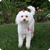 Adopt A Pet :: PHOEBE - Newport Beach, CA