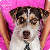 Terrier (Unknown Type, Medium) Mix Dog for adoption in Cedar Creek, Texas - Bookie