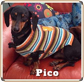 Dachshund Dog for adoption in Green Cove Springs, Florida - Pico