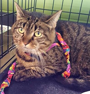 Domestic Mediumhair Cat for adoption in Lyons, Illinois - Taylor - look into my eyes and tell me when