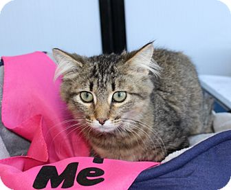 Domestic Mediumhair Kitten for adoption in Las Vegas, Nevada - JADE
