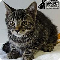 Domestic Shorthair Kitten for adoption in Sandusky, Ohio - JOEY