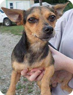 Chihuahua/Dachshund Mix Dog for adoption in Summerville, South Carolina - Lil Bit