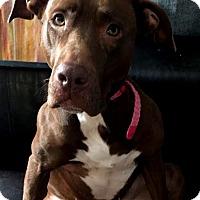 Adopt A Pet :: Skye - Detroit, MI
