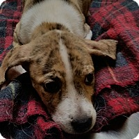 Boxer/Terrier (Unknown Type, Medium) Mix Puppy for adoption in Charlotte, North Carolina - Lilly