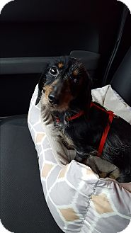 Dachshund Mix Dog for adoption in Olympia, Washington - Cami