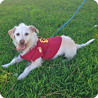 Terrier (Unknown Type, Small) Mix Dog for adoption in Van Nuys, California - LITTLE MAX
