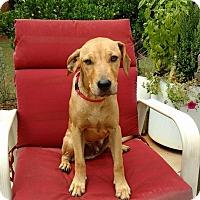 Labrador Retriever/Labradoodle Mix Puppy for adoption in Piedmont, South Carolina - Crackers
