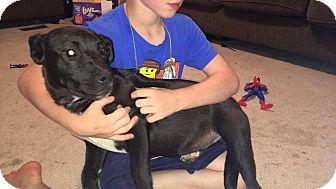 Labrador Retriever/Shepherd (Unknown Type) Mix Puppy for adoption in Piedmont, South Carolina - Rain