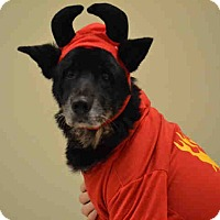 German Shepherd Dog Mix Dog for adoption in Overland Park, Kansas - A076545 Scout