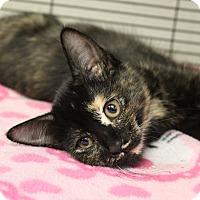Adopt A Pet :: Calliope - Sarasota, FL