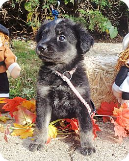 Shepherd (Unknown Type) Mix Puppy for adoption in West Chicago, Illinois - Janis