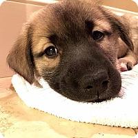 Adopt A Pet :: Caleb - Southbury, CT