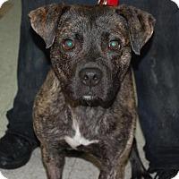 Adopt A Pet :: Troy - Brooklyn, NY