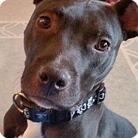 Boxer Mix Dog for adoption in Dayton, Ohio - Wombat