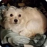 Adopt A Pet :: Muffy - Minneapolis, MN