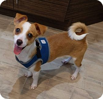 Chihuahua Mix Puppy for adoption in Fountain Valley, California - Peanut