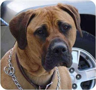 Brutus | Adopted Dog | Pisgah, AL | Mastiff/Great Dane Mix