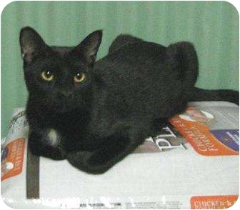 Domestic Shorthair Cat for adoption in Metairie, Louisiana - Gordy