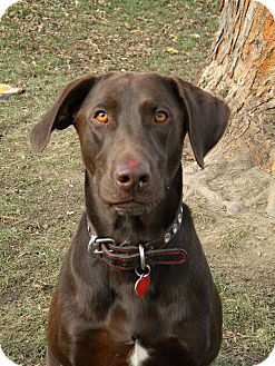Labrador Retriever/Retriever (Unknown Type) Mix Dog for adoption in Monteregie, Quebec - Wilson