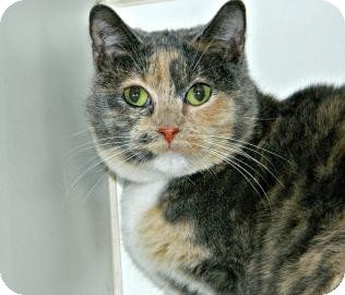 Domestic Shorthair Cat for adoption in Cheyenne, Wyoming - Heidi