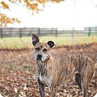 Plott Hound Mix Dog for adoption in Louisville, Kentucky - Dixie (COURTESY POST)