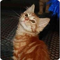 Adopt A Pet :: Amber - Davis, CA