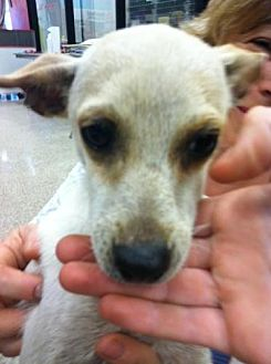Chihuahua/Rat Terrier Mix Dog for adoption in Fresno, California - Leo
