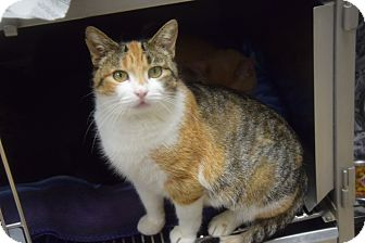 Domestic Shorthair Cat for adoption in Pottsville, Pennsylvania - Miss Kitty