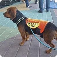 Basset Hound Mix Dog for adoption in Tempe, Arizona - Bigelow