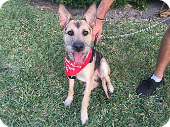 Shepherd (Unknown Type) Mix Dog for adoption in Coral Springs, Florida - kelly
