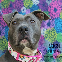 Pit Bull Terrier Mix Dog for adoption in Tampa, Florida - Lucy