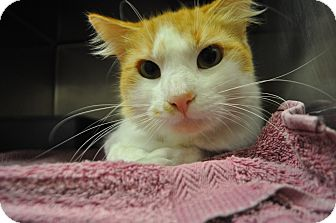 Domestic Mediumhair Cat for adoption in Bay Shore, New York - Wilson