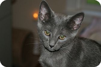 Domestic Shorthair Cat for adoption in Youngsville, North Carolina - Lt. Dan