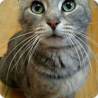 Domestic Shorthair Cat for adoption in Wauconda, Illinois - Daenerys (Danny)