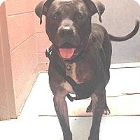 American Pit Bull Terrier Mix Dog for adoption in Mustang, Oklahoma - Charlie