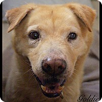 Labrador Retriever/Chow Chow Mix Dog for adoption in Chillicothe, Ohio - Goldie