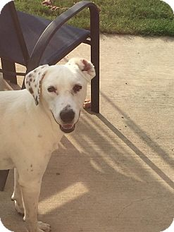Labrador Retriever/Dalmatian Mix Dog for adoption in Plano, Texas - Sophia