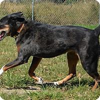 Catahoula Leopard Dog Mix Dog for adoption in DuQuoin, Illinois - Koda - senior dog