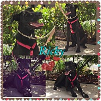 Adopt A Pet :: Ricky - hollywood, FL
