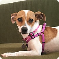Jack Russell Terrier/Chihuahua Mix Dog for adoption in San Diego, California - Xena