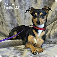 Chihuahua Mix Dog for adoption in Yreka, California - Cougarbait