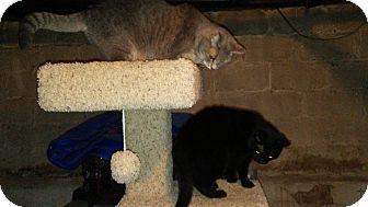 Domestic Shorthair Cat for adoption in Baltimore, Maryland - Jet (COURTESY POST)