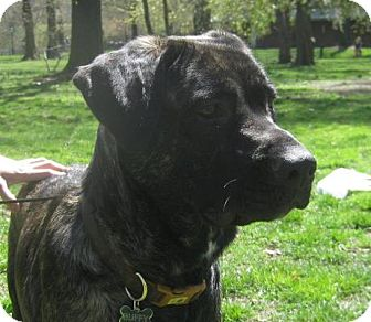 Mastiff/Retriever (Unknown Type) Mix Dog for adoption in Long Beach, New York - Buffy