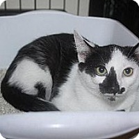 Domestic Shorthair Cat for adoption in Chino, California - Sailorman aka Patches