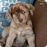 Adopt A Pet :: Blake - Scottsdale, AZ