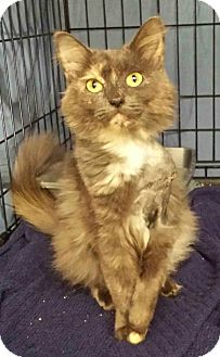 Domestic Mediumhair Cat for adoption in Clarksville, Tennessee - Kizzy